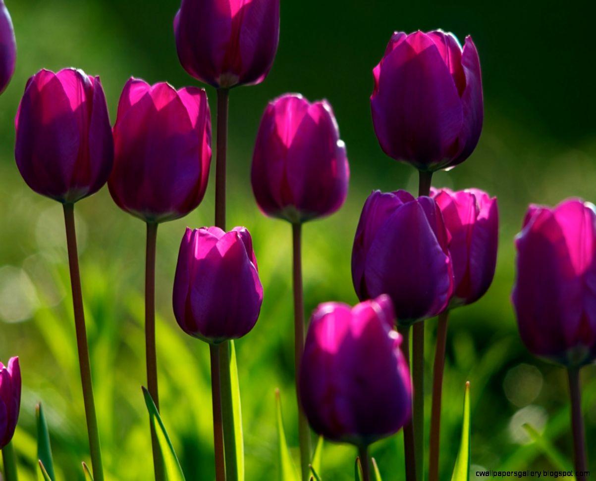 1280x1024 Summer purple tulips Wallpaper