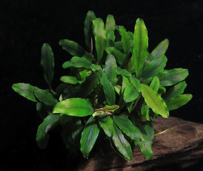 Картинки по запросу bucephalandra sp. kualakuayan-1
