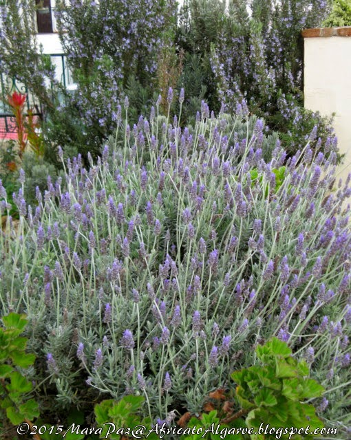 Lavender and rosemary still blooming