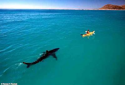 Hiu vs Kayakers