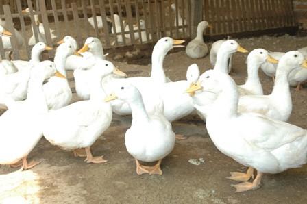bebek peking ini telah dikembangkan pola kemitraan peternakan bebek