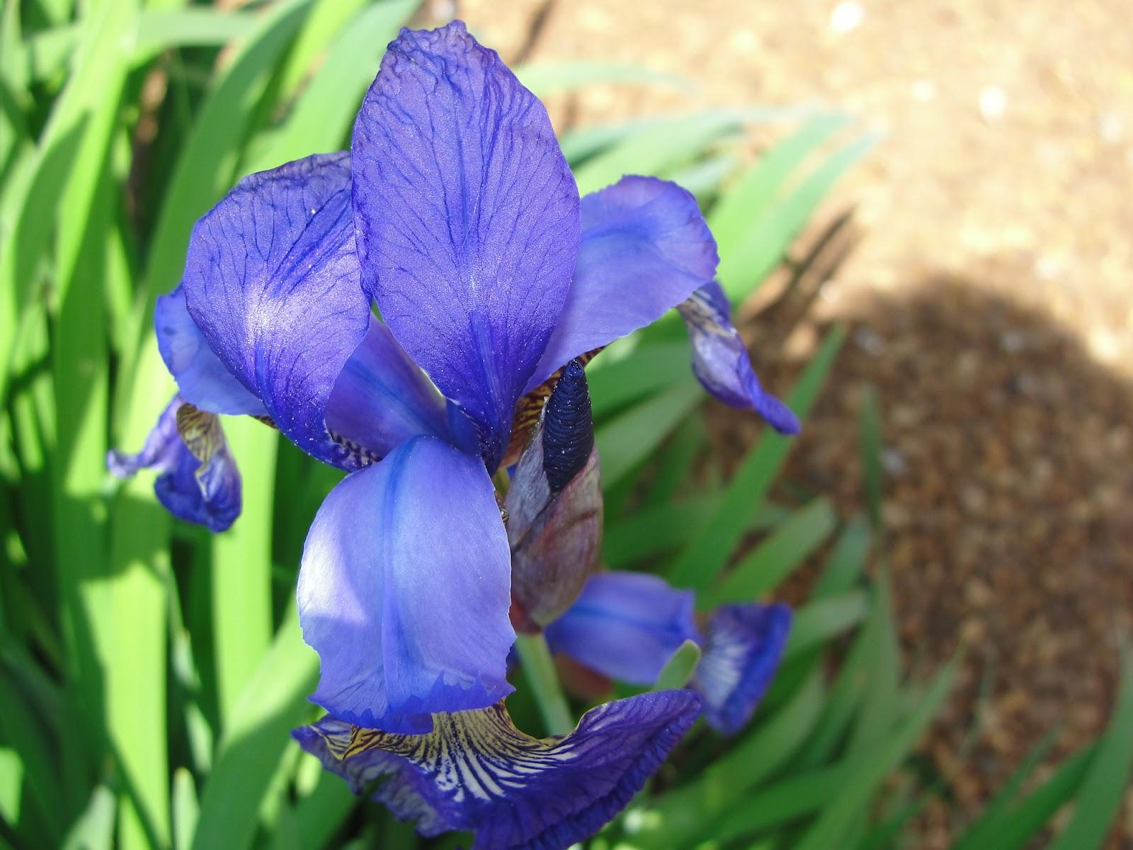 SOOOO MANY YEARS Iris State Flower of Tennessee