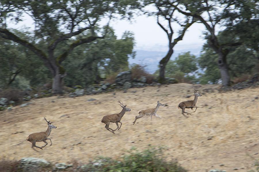 Ciervos en Hornachuelos