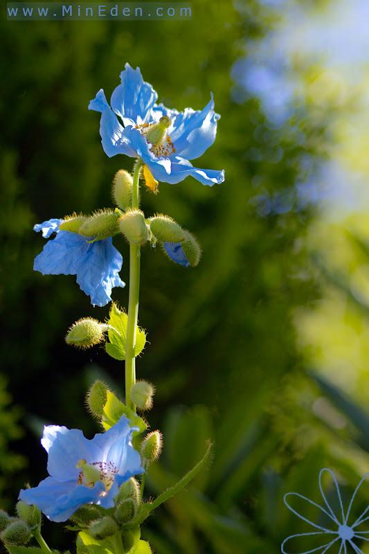 Blå Bergvallmo Meconopsis betonicifolia