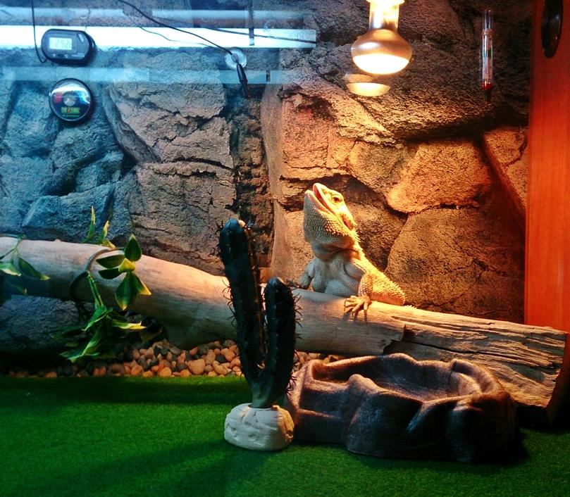 bearded dragon basking. A heat l& ... & Bearded Dragon Care: Bearded Dragon - Lighting and Heating. azcodes.com