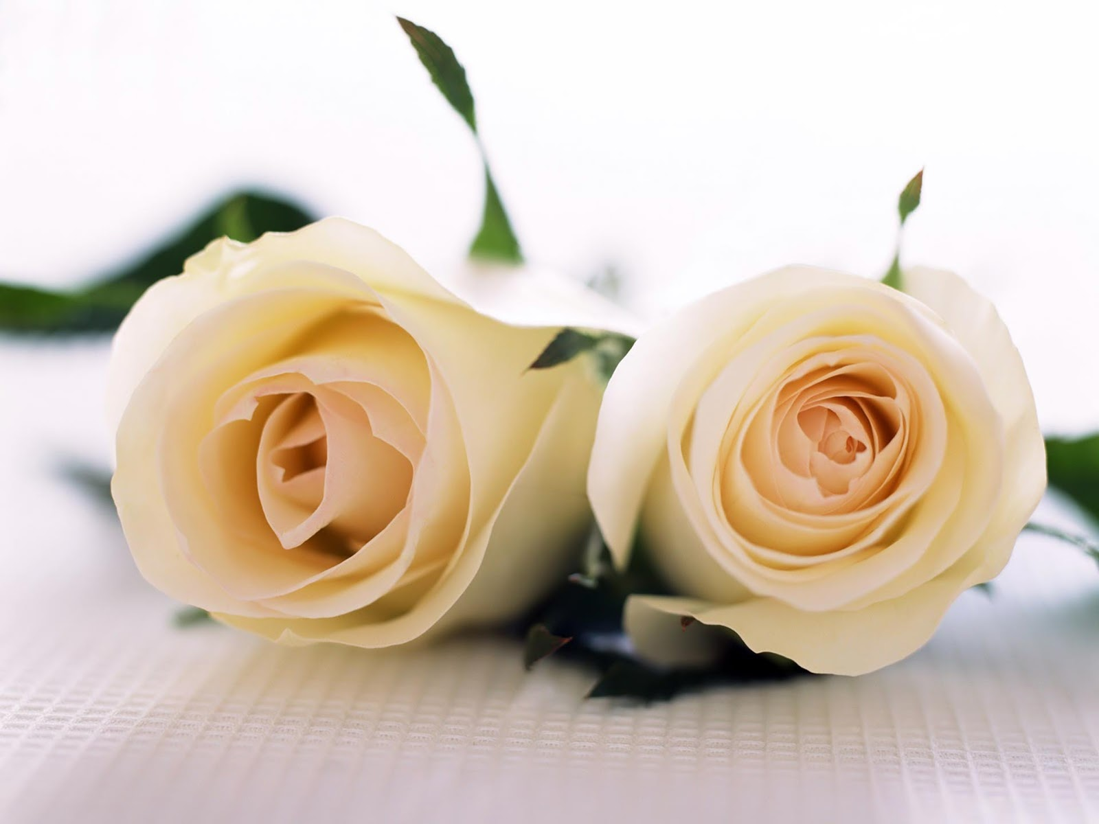 white rose backgrounds wallpapers - photo #20