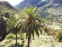 Amigos de las palmeras de canarias
