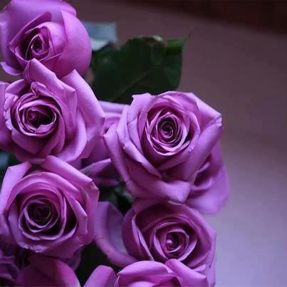 Rosas moradas FaceBook - Imagui
