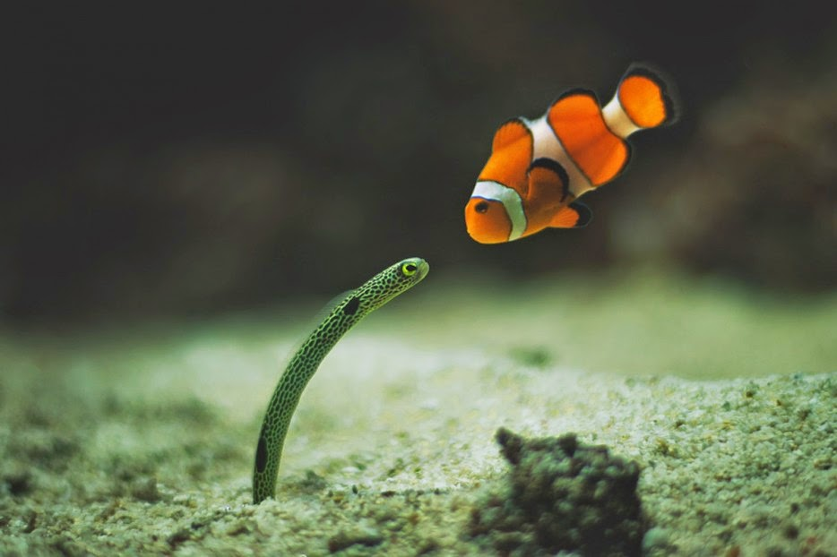 50 Powerful Photos Capture Extraordinary Moments In The Wild - A clownfish and eel meet for the first time.