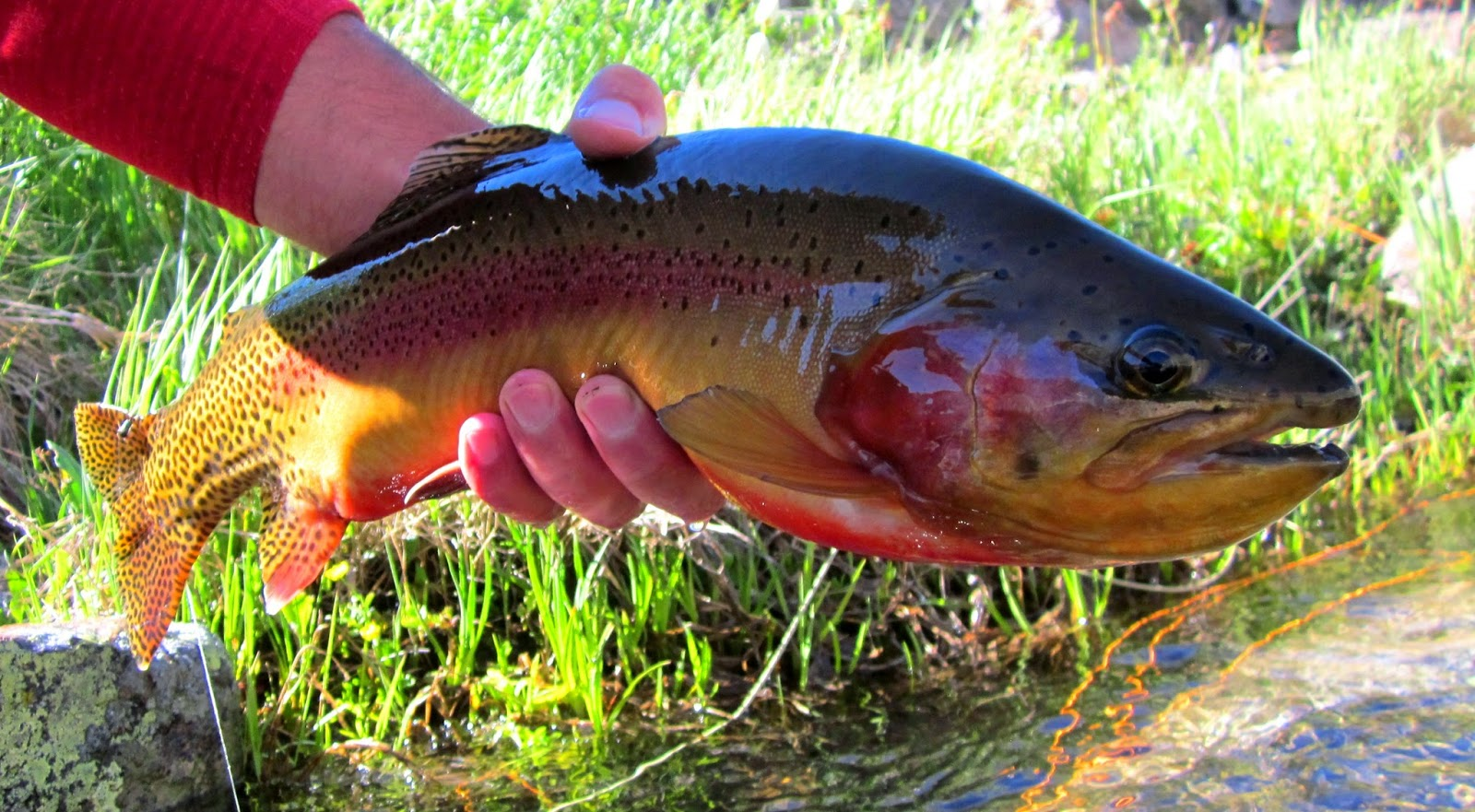 Golden Trout The Peacock Of The Trout World Trout And