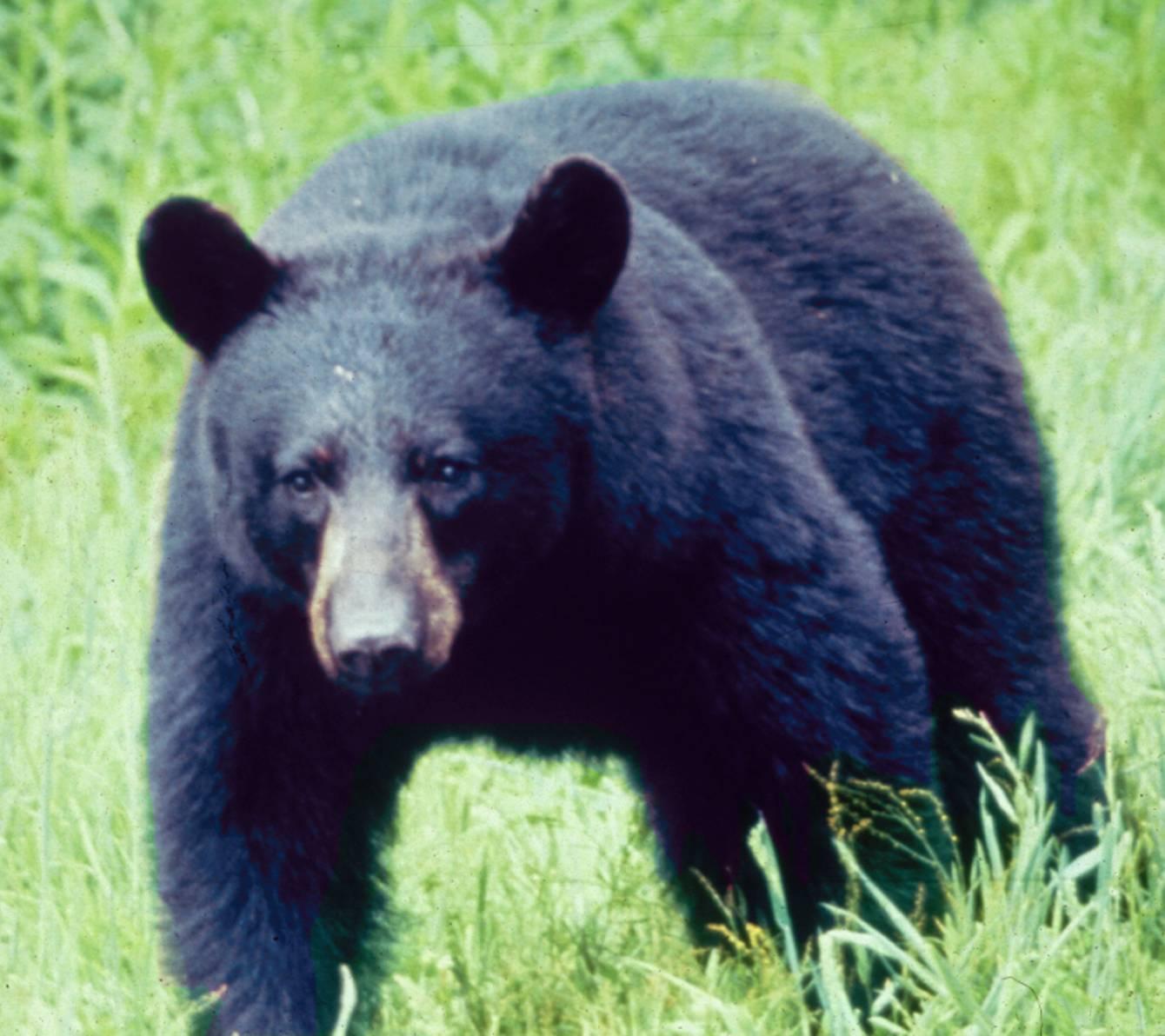 Black Bear Animal Wildlife