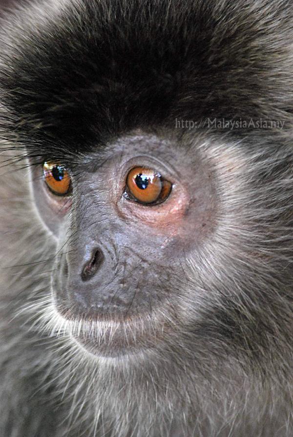 Silver Leaf Monkey Photo