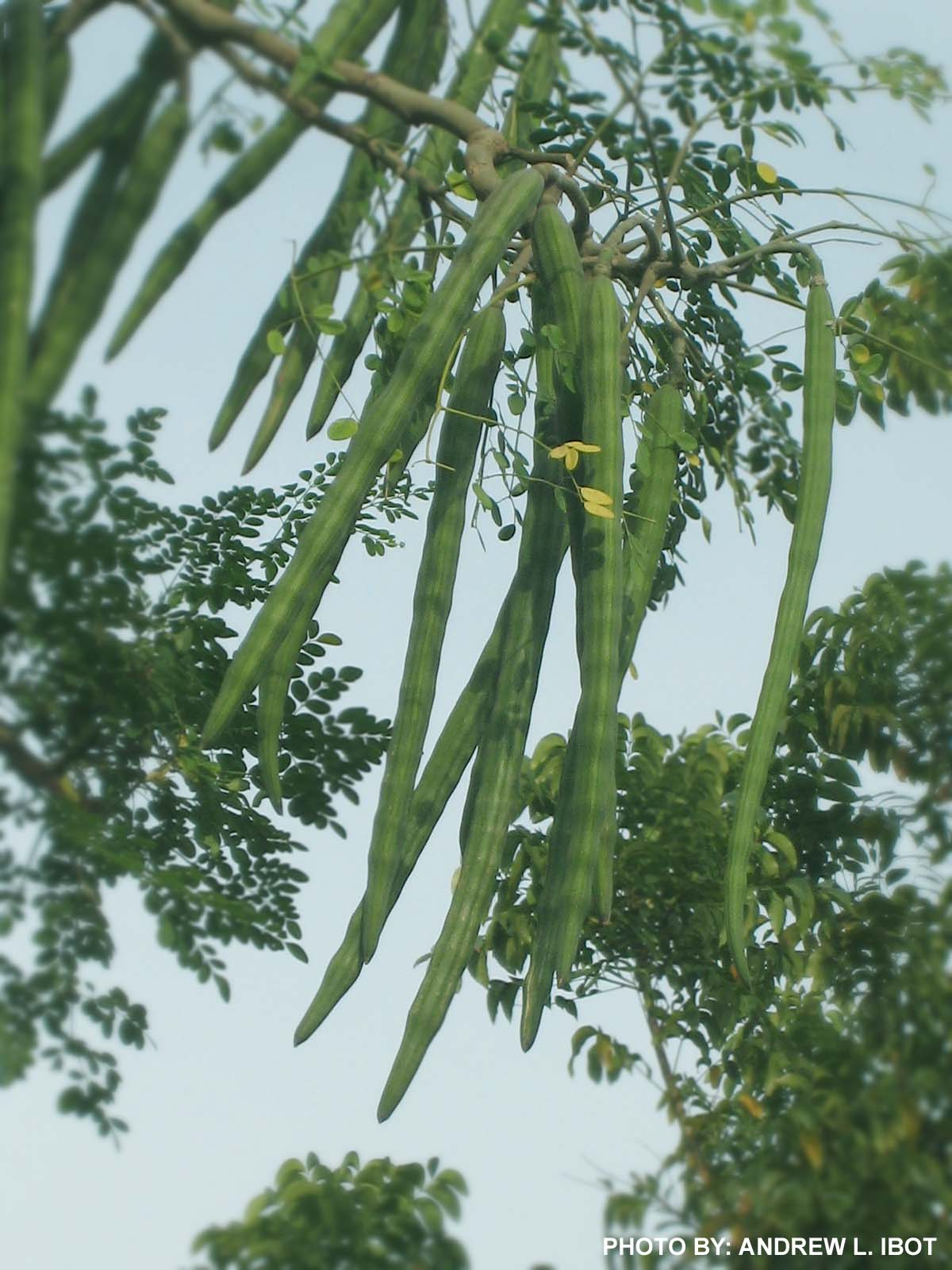 malunggay leaves and chili fruit as In leaves of malunggay plant (moringa oleifera) sampled in some locations in the philippines  (cereals, tubers, vegetables fruit and industrial tree crops) in the .