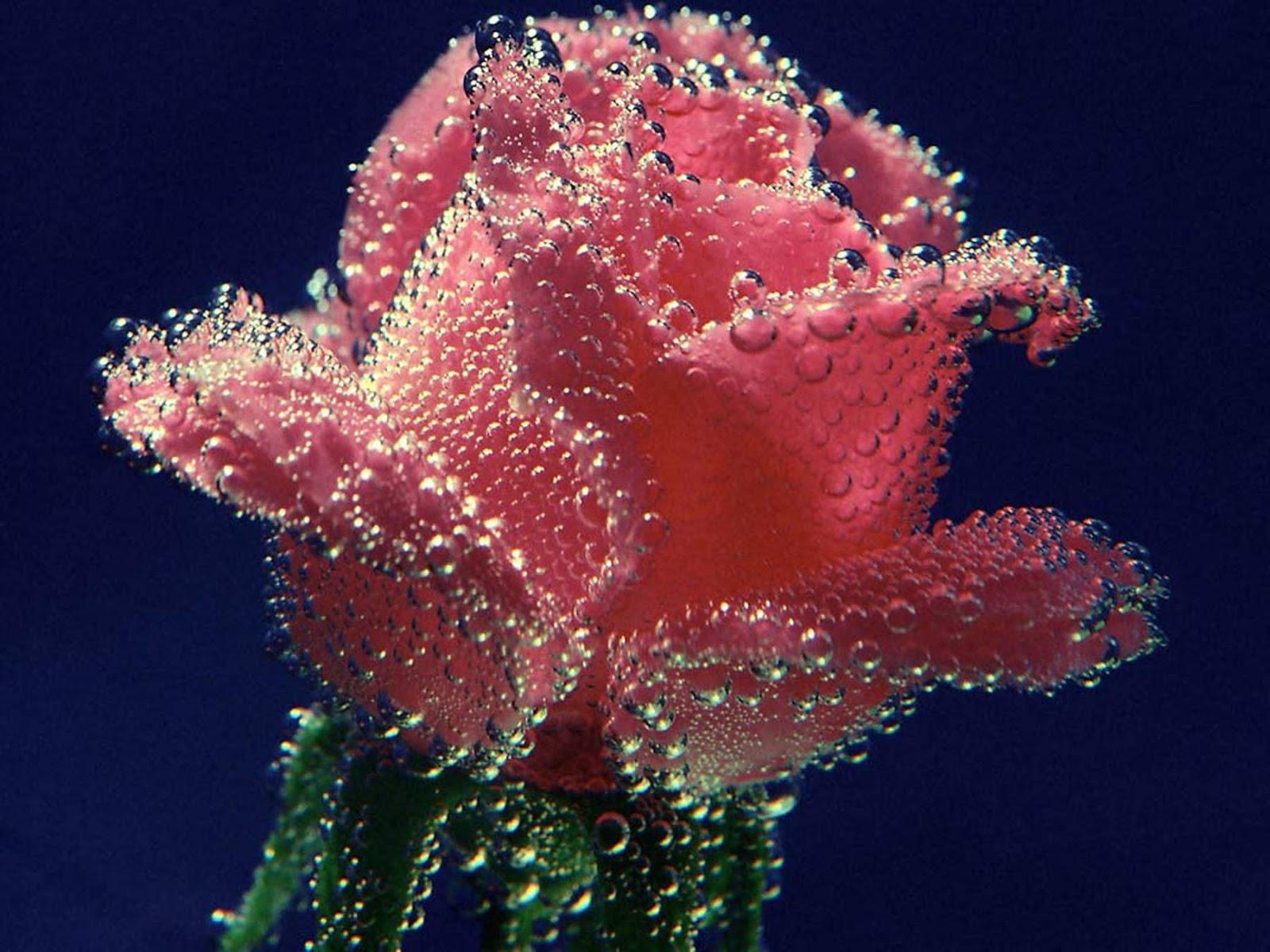 Free Download Wallpaper Hd Love Rose Beautiful Rose Gift Rose