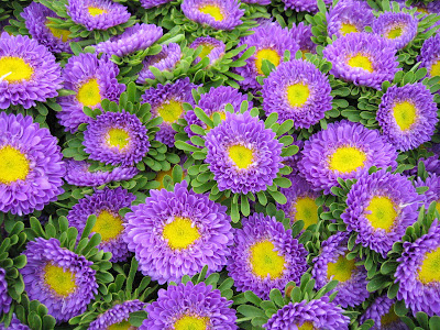 Tag: Aster Flowers Wallpapers, Backgrounds,Photos, Images and Pictures ...