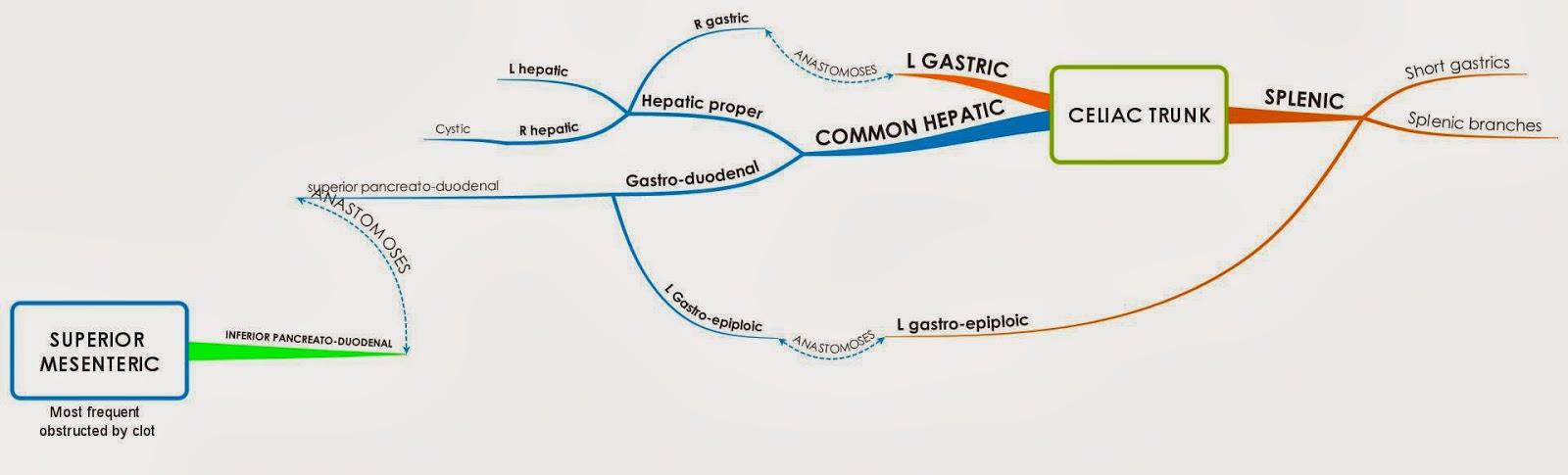 celiac trunk model- #images, Cephalic Vein