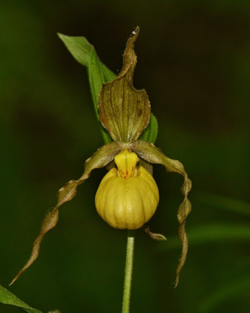 a lovely native orchid - the Yellow Lady's Slipper (Cypripedium parviflorum)