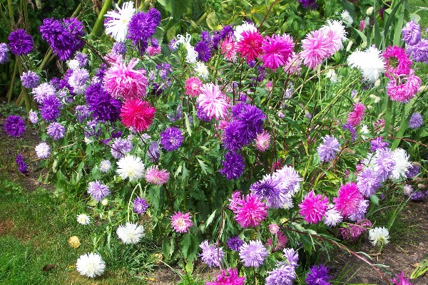 Amazing Garden Aster Flower Flower Of September
