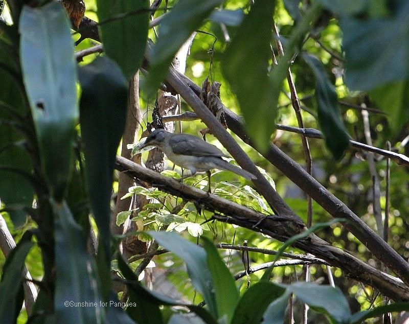 Slender-billed Greenbul Stelgidillas gracilirostris in Gambia