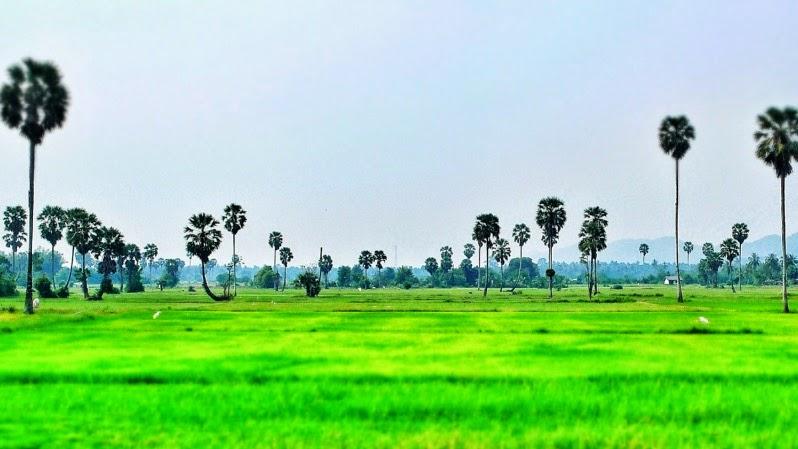 Reisfeld bei Ban Krut