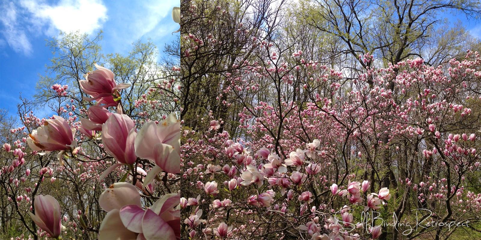 magnolia trees, Royal Botanical Gardens