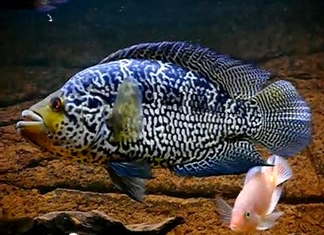October 2013 exotic freshwater and saltwater fishes for Aggressive saltwater fish