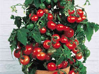 как вырастить помидоры, вырастить помидоры на подоконнике, уход за помидорами, подкормка помидор