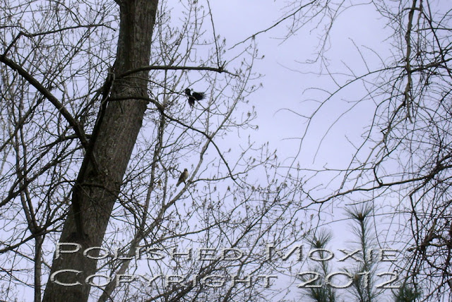 Image of a crow dive bombing a hawk sitting in a tree.
