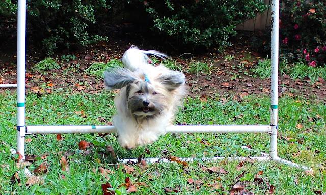 Rocco Havanese backyard agility jump