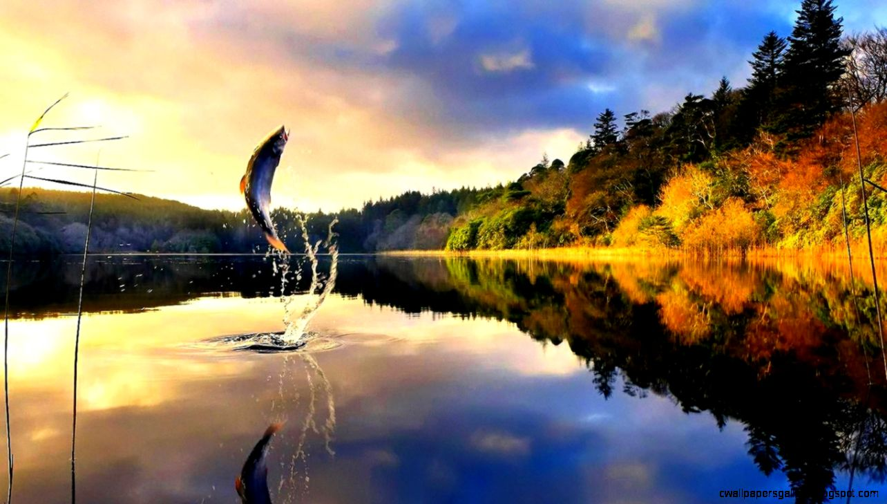 1366x768 Fly Fishing Trout Trout Fish Splash Fishing Calm
