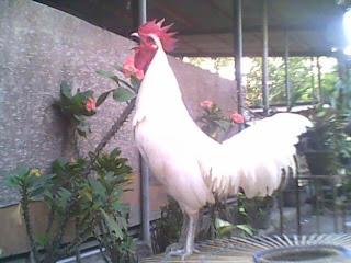 warna bulu ayam ketawa