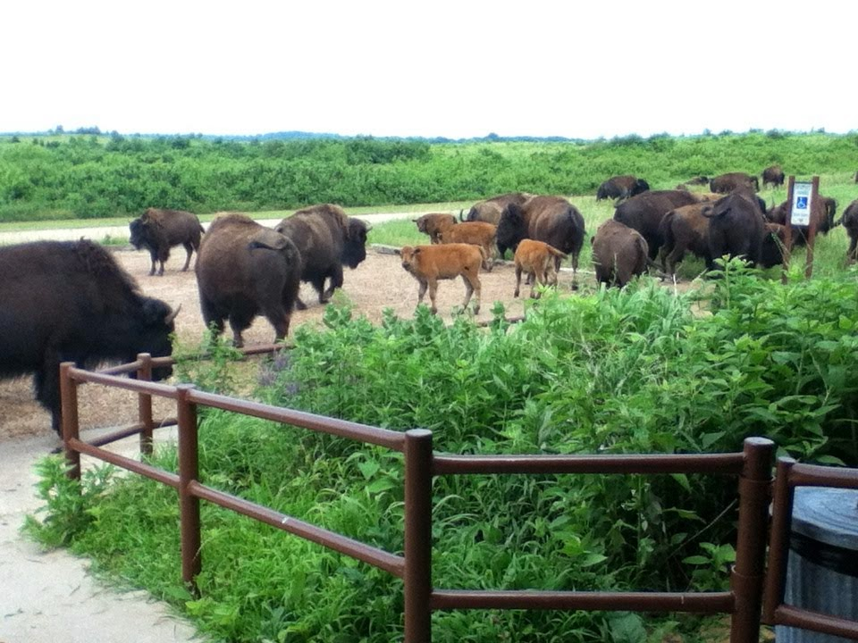 Bison Herd At Prairie State Park