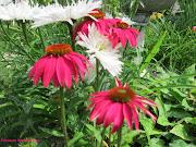 Echinacea, Marguerite et Rudbeckie