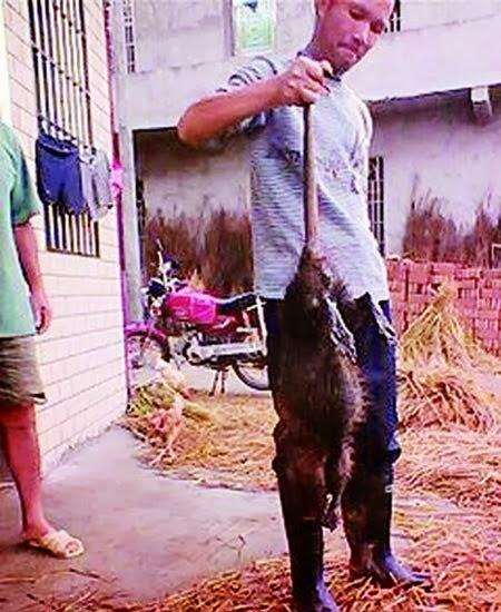 'Ratzilla' | Tikus Gergasi Di China