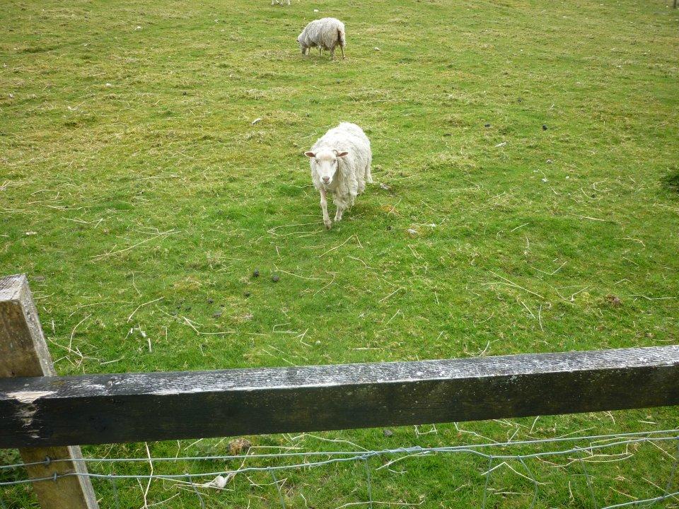 Evil sheep - photo#12