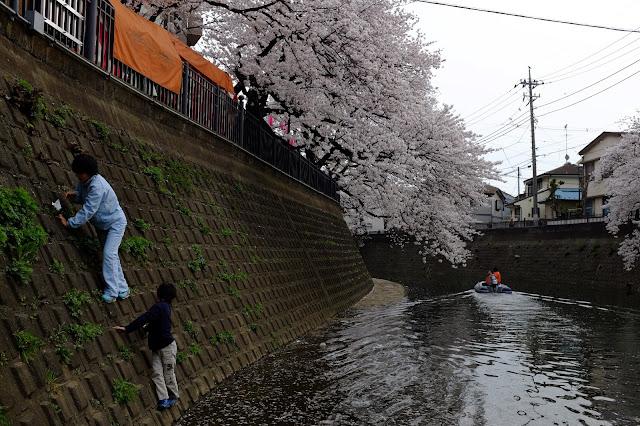 Sakura cherry blossom gumyoji yokohama japan