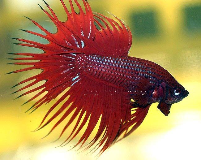 Aquarium fish others fighting fish for Cool betta fish names