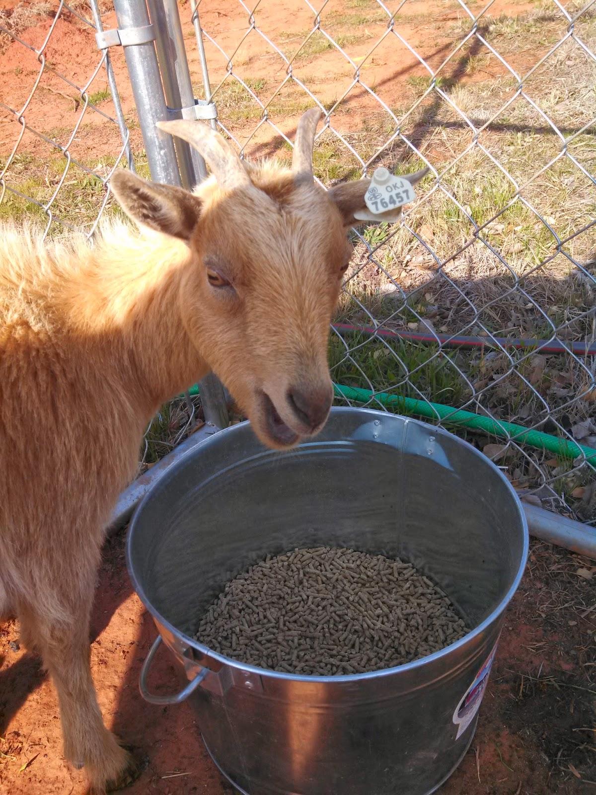 Goats, pygmy goats, dwarf goats
