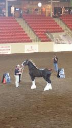 2015 Calgary Stampede Grand Champion Stallion