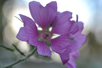 Lavatera Child friendly plant