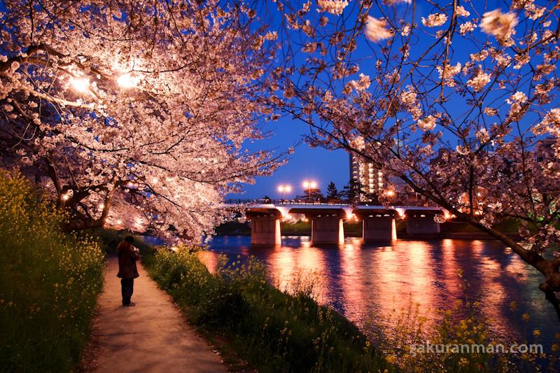 Gambar Bunga Sakura Jepang Indah Cantik