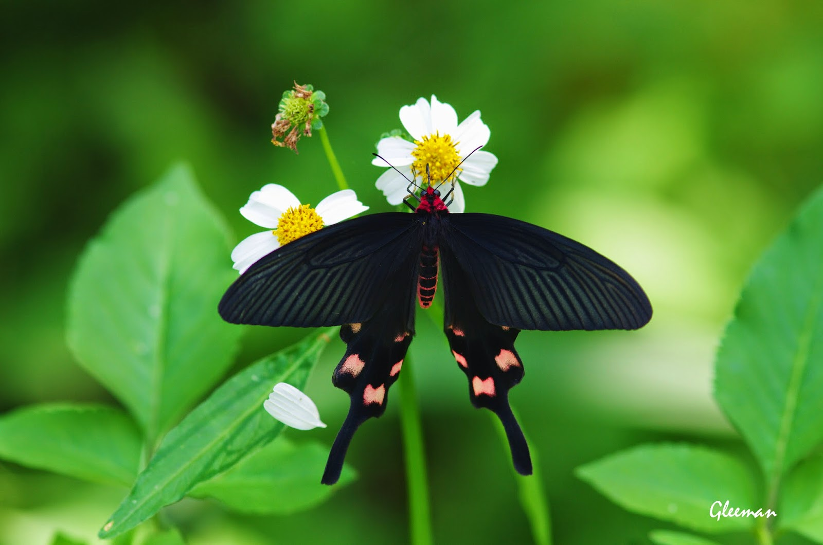 台灣麝香鳯蝶於雞南山。