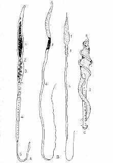 Tinh trùng của các loài gia cầm trống