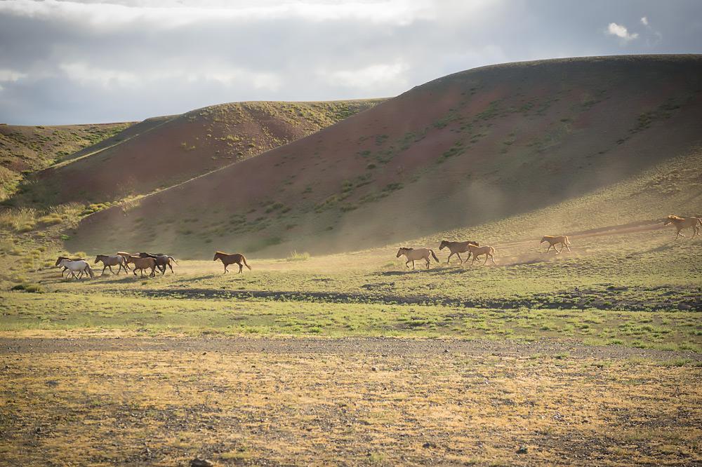 Dzikie konie na stepach Mongolii