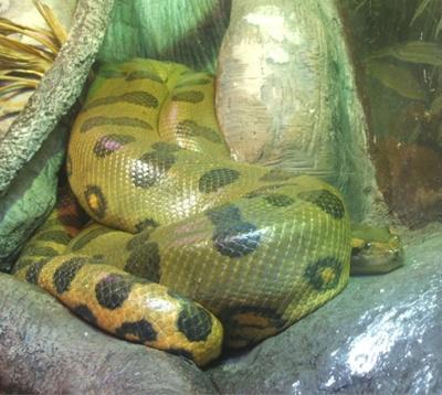 anaconda hijau1