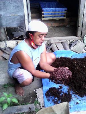 Tahap memberi pakan cacing tanah
