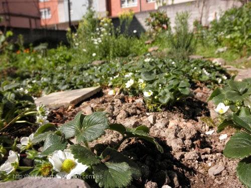 fresas, en mi huerto urbano. Ideales para plantar en recipientes, en terrazas y balcones