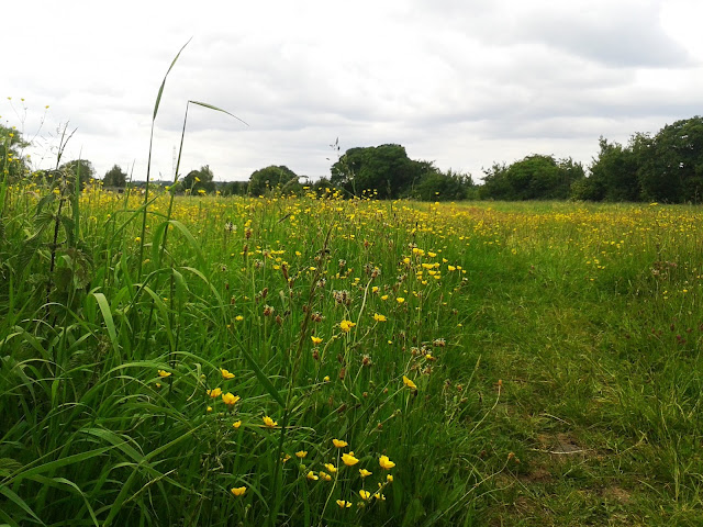 Project 365 2015 day 160 - Meadow // 76sunflowers