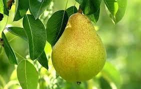 Atasi asam urat dengan buah pir