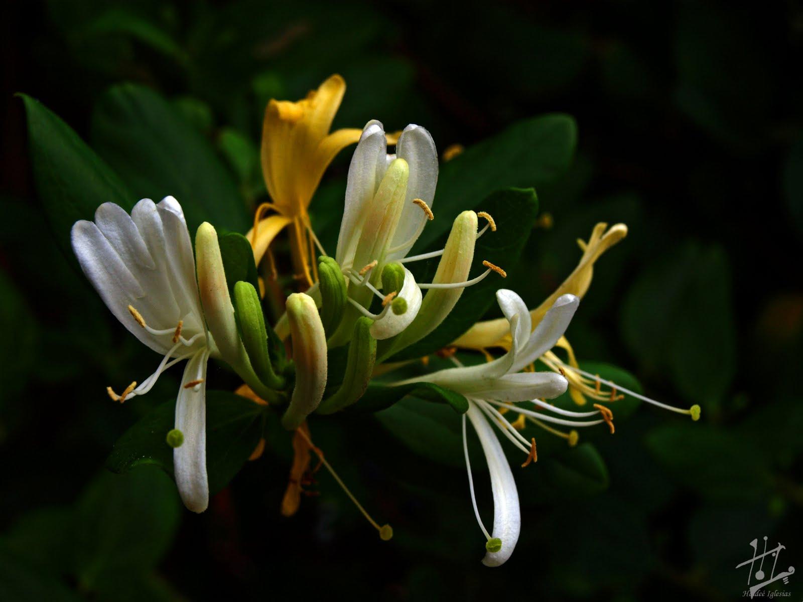 Mirando en el mundo el encuentro con un aroma la madreselva - La madreselva ...